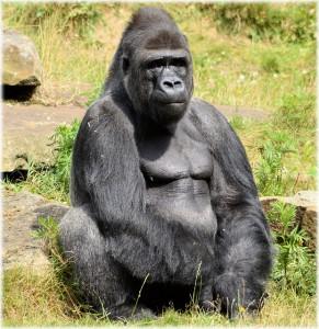 ruanda-gorilla